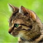 ((bold)) Efeusturm: ((ebold)) Name: Efeusturm Alter:23 Monde Geschlecht:weiblich Aussehen:schlanke, braun-schwarz getigerte Kätzin mit efeu