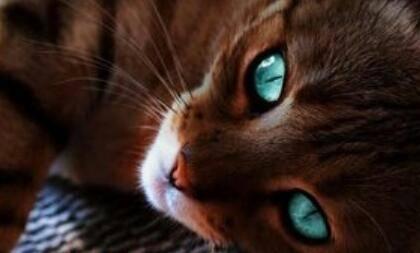 Warrior Cats Fuchsherz