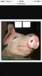 Wie sollte ich mein Schweinchen nennen?