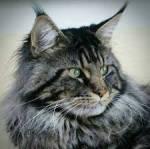 ((big))Mein Steckbrief((ebig)) Name: Ahornlicht Alter: 45 Monde (3 Blattwechsel) Geschlecht: Weiblich Position: Leiterin Aussehen: Schöne, graue Kät