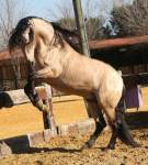 ((big))Mein Steckbrief((ebig)) Name: Saffira Rasse: Mustang Alter:4 Jahre Aussehen: gelbgoldenes Fell Schwarze Mähne und Schweif, schwarze Socken an