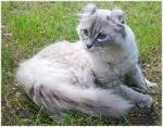 Eure Steckis (Schüler) Name: Blaustern Alter: 24 Monate Geschlecht: Sanfte Kätzin Gang: Frühling Zimmer: Blatt Aussehen: Weiß-silberne American Cu