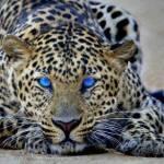 Also fangen wir an... Wir leben in einer großen Gruppe um uns gegenseitig zu beschützen, das bedeutet auch jedes Junges wird von allen Leopardinnen