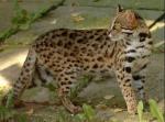 Fakt 15: Leopardenstern muss Hauskätzchenblut(oder zumindest ein wenig) in sich haben, weil nur Hauskätzchen solches Fell haben können.
