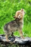 Das Leben eines Wolfjungen (WolfRPG)