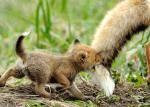 Während sich Loona und Akay stritten, wer lauter ist, versuchte ich mich im Jagen. Meine Beute: Mamas Schweif!