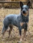 Australian Cattle Dog Australischer Treibhund
