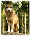 ((bold))gespielt von: surivor dog((ebold)) Name: Tilo Alter: 7 Blattwechsel Geschlecht: männlich Charakter: beschützerisch, mutig, direkt, immer gut