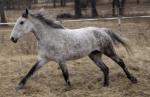 Raze' American Bashkir Curly Horsestute Texas. Das Bild ist doch perfekt, oder? Und alles Zaun bitte ignorieren;)