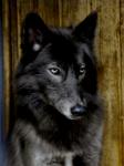 ((maroon))Night((emaroon)) ist ein Wolfshund. Der zurückhaltende Krieger wird von Lela 09 gespielt.