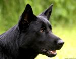 Das hier ist der scheue Lehrling ((navy))Blacky((enavy)). Der Mallorca - Schäferhund - Mix wird von mir gespielt. ((small))(Das Bild zeigt Blacky wen