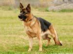 Der Deutsche Schäferhund ((maroon))Rex((emaroon)) wird von Ascona gespielt. Er ist ein treuer Jäger.
