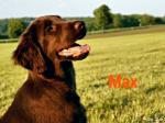 Hier siehst du ((olive))Max((eolive)). Er ist Loonas Bruder und somit ebenfalls ein Hovawart. Der selbstbewusste Alpha wird von mir gespielt^^.