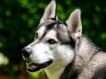 Die schlaue Husky Dame ((fuchsia))Maya((efuchsia)) siehst du auf diesem Bild. Sie ist Kriegerin und wird von saphirherz gespielt.