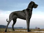 Dieser loyale Krieger heißt ((blue))Herkules((eblue)). Er ist eine Deutsche Dogge und wird von livi2.0 gespielt.