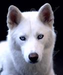 Der zuverlässige ((blue))Salomo((eblue)) ist Ausbilder. Er ist ein weißer Husky und braucht noch jemanden der ihn spielt.