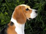 Das ist ((red))Sallie((ered)), Kriegerin des Rudels. Die hilfsbereite Beagle Hündin wird von Ascona gespielt.