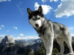 Dieser nette Siberian Husky heißt ((blue))Snowpaw((eblue)). Er wird von Sonnenkater gespielt und ist Jäger.