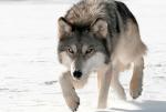WarriorCats: Aufnahme in den Wald der Finsternis