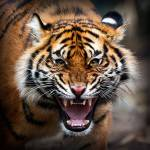Kapitel 2 Jetzt werde ich zum Tiger. Es ist schon wieder hell. Ich strecke mich ganz lang und... ER IST NICHT DA!,, MMIAAAAUUUUUU!,, Ich rufe in meine