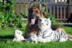 Altdeutscher. Tiger