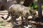 Name: Uferstern Alter: 61 Monde Clan: DschungelClan Rang: Anführer Tierart: Leopard Charakter: Taktisch sehr schlau, aufmerksam, durchsetzungesfähig