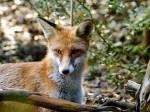 Name: Flammenblitz Alter: 17 Monde Clan: SonnenClan Rang: Jäger Tierart: Fuchs Charakter: Ehrgeizig, etwas eingebildet, mutig, meistens freundlich, s