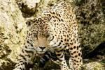 ((bold))Gewitterfrost((ebold)) Name: Abendstern Alter: 35 Monde Clan: SavannenClan Rang: König Tierart: Leopard Charakter: Misstrauisch, ehrlich, tem