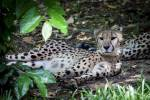Name: Sturmjunges /-blüte Alter: Eine Woche Clan: SavannenClan Rang: Junges (später Fänger) Tierart: Gepard Charakter: Schüchtern, still, verschlo