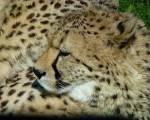 Name: Sandjunges /-schweif Alter: Eine Woche Clan: SavannenClan Rang: Junges (später Kämpfer) Tierart: Gepard Charakter: Selbstverliebt, stolz, temp