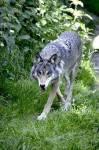 Name: Regenjunges Alter: Eine Woche Clan: NachtClan Rang: Kind Tierart: Wolf Charakter: Ruhig, misstrauisch, strategisch, ausdauernd, friedvoll Geschl