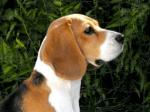 ((bold))von: Ascona((ebold)) Name:Sallie Alter:3 Jahre Geschlecht: Hündin Tierart+Rasse:BeagleHündin Aussehen: braun/weiß, braune Augen, Schl