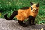 ((bold))von: Hija de la Luna((ebold)) Name: Loki Alter: 5 Monate Geschlecht: männlich Tierart+Rasse: Katze (Rasse unbekannt) Aussehen: rot schwarze K