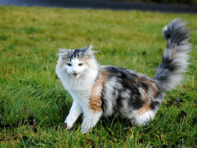((bold))von: Hija de la Luna((ebold)) Name: Yggrasil Alter: 5 Jahre Geschlecht: w Tierart+Rasse: Katze Aussehen: eine Langhaar schildpatt mit braun/ge