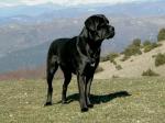 ((bold))von: Accent 2.0/Acci((ebold)) Name:Lawrence Alter:10 Geschlecht:Männlich Tierart+Rasse:Hund (Cane Corso) Aussehen:Schwarz Statur:
