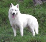 ((bold))von: Snow((ebold)) Name: Snow Alter: 6 Geschlecht: w Tierart+Rasse: weißer Schweizer Schäferhund Aussehen: Weißes Fell und braune Augen Sta