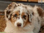 ((bold))von: ~immy~((ebold)) Name: Timi Alter: 3/4 Jahr Geschlecht: männlich Tierart+Rasse: Hund (Australian Shepherd Mix) Aussehen: weiß/braun geme