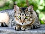 ((bold))von: Leif((ebold)) Name:Leif Alter:3 Jahre Geschlecht:mänämlich Tierart+Rasse: Katze→ American Shorthair Aussehen:wie ein Americ
