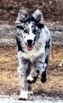 ((bold))von: Paw((ebold)) Name: Paw Alter: 2/2 Geschlecht: weiblich Tierart+Rasse: Hund (Australian Shepherd) Aussehen: http://www.kirasoftware.com/