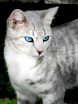 ((bold))von: Dornensee((ebold)) Name:Silver Alter: 1 1/2 Jahre Geschlecht:weiblich Tierart:Katze R asse:sehr gemischt Aussehen:silbern getig