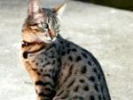 ((bold))von: Abigail((ebold)) Name: Dana Alter: 2 Geschlecht: weiblich Tierart+Rasse: Katze, ägyptische Katze Aussehen: Schwierig zu beschreiben Stat