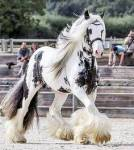 Ist das Shire Horse die größte Pferderasse der Welt?