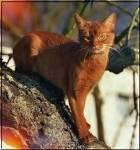 Aschenpfote (M) Abendschweif (M/W) Abendsturm(M) Glutpelz (M) Rubinfeuer (W) Dunkelrote Katze mit dickem Fell, stämmig und (nur M:) breitschultrig. A