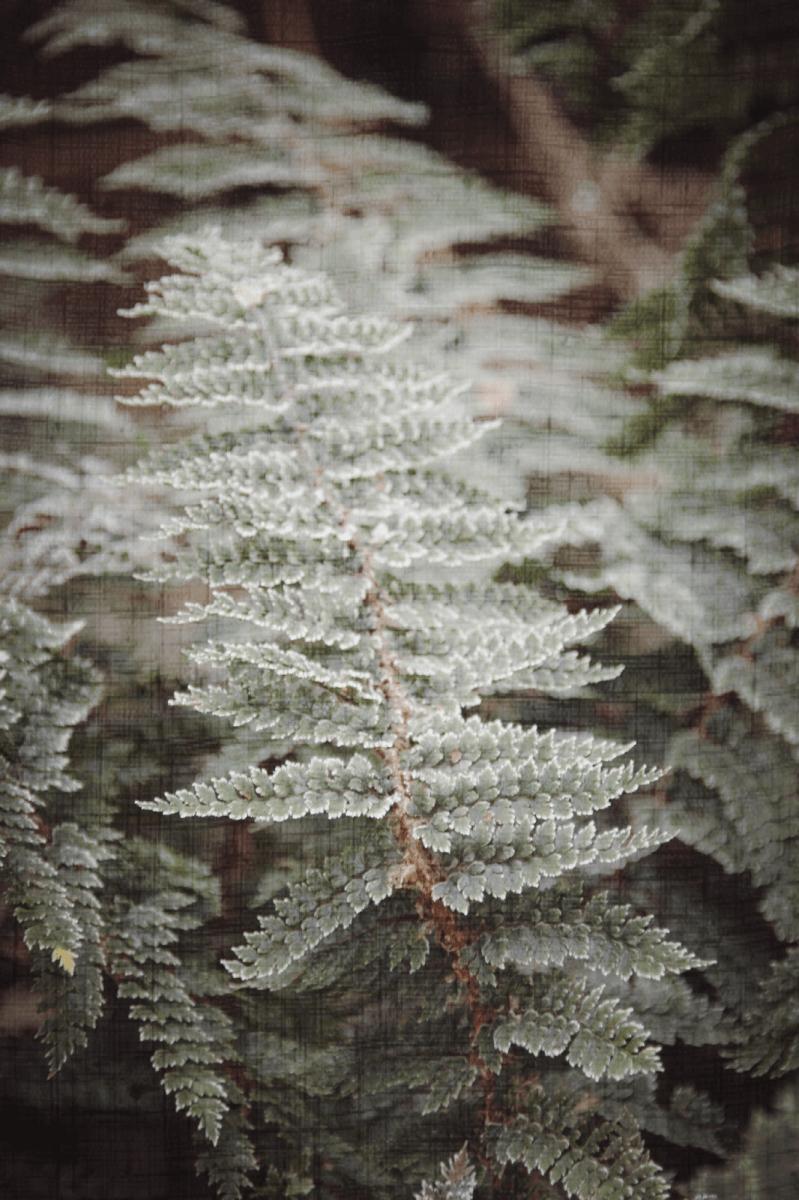 Farnfrost Fernfrost