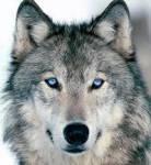 Was für ein Wolf von Wolf Friends bist du?