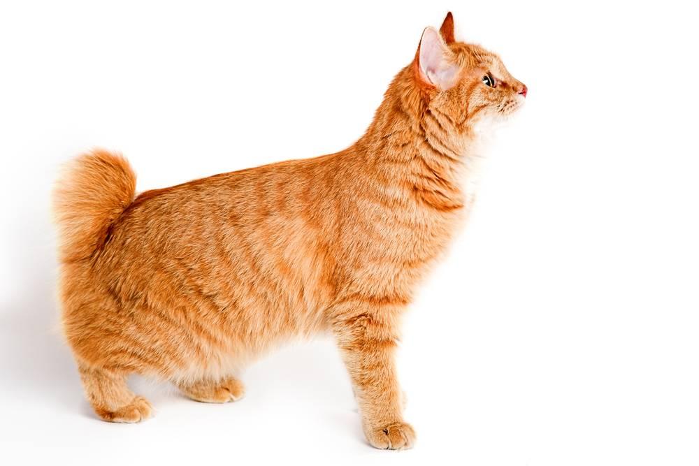 American Bobtail Cats Ear Hair