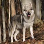 Name: Lux (ausg. Lax) Alter: 4 Geschlecht: M Rudel: Scharfhund Rudel Rang: Alpha Charakter: fies, Töterinstinkt, selten nett Aussehen: siehe Bild Ver
