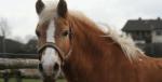 Hast du dir schon Gedanken darüber gemacht, wie groß dein Pferd sein soll, welche Rasse, welches Geschlecht, und welche Farbe es haben/sein soll, un