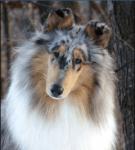 Name: Blue Alter: 25 Monde Geschlecht: weiblich Hunderasse: Langhaar- Collie Charakter: freundlich, nett, vertrauenswürdig, verträumt Aussehen: Blue