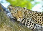 ((big))White Cheetah's((ebig))zweiter Charakter: Name: Farn Alter: 19 Monde Geschlecht: weiblich Rudel: Mondlichtrudel Rang: Beere, wird deshalb